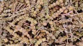 Τα κινεζικά χορτάρια τοπ άποψης Herba Schizonepetae περιστρέφονται και σταματούν φιλμ μικρού μήκους