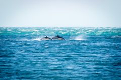 Τα κοινά δελφίνια έρχονται στην επιφάνεια τη θυελλώδη ημέρα Στοκ φωτογραφία με δικαίωμα ελεύθερης χρήσης