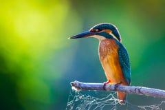 Τα κοινά ευρωπαϊκά atthis αλκυόνων ή Alcedo εσκαρφάλωσαν σε ένα ραβδί επάνω από τον ποταμό και το κυνήγι για τα ψάρια στοκ εικόνες με δικαίωμα ελεύθερης χρήσης