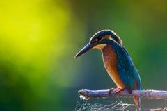 Τα κοινά ευρωπαϊκά atthis αλκυόνων ή Alcedo εσκαρφάλωσαν σε ένα ραβδί επάνω από τον ποταμό και το κυνήγι για τα ψάρια στοκ φωτογραφία με δικαίωμα ελεύθερης χρήσης