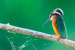 Τα κοινά ευρωπαϊκά atthis αλκυόνων ή Alcedo εσκαρφάλωσαν σε ένα ραβδί επάνω από τον ποταμό και το κυνήγι για τα ψάρια στοκ φωτογραφίες με δικαίωμα ελεύθερης χρήσης