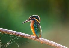 Τα κοινά ευρωπαϊκά atthis αλκυόνων ή Alcedo εσκαρφάλωσαν σε ένα ραβδί επάνω από τον ποταμό και το κυνήγι για τα ψάρια στοκ εικόνα