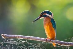 Τα κοινά ευρωπαϊκά atthis αλκυόνων ή Alcedo εσκαρφάλωσαν σε ένα ραβδί επάνω από τον ποταμό και το κυνήγι για τα ψάρια στοκ φωτογραφία