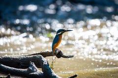 Τα κοινά ευρωπαϊκά atthis αλκυόνων ή Alcedo εσκαρφάλωσαν σε ένα ραβδί επάνω από τον ποταμό και το κυνήγι για τα ψάρια στοκ φωτογραφίες