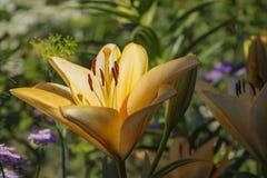 Τα κοινά ονόματα για τα είδη σε αυτό το γένος περιλαμβάνουν τον κρίνο νεράιδων, rainflower, zephyr κρίνος, μαγικός κρίνος, κρίνος Στοκ φωτογραφία με δικαίωμα ελεύθερης χρήσης
