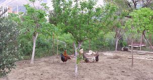 Τα κοτόπουλα και οι κόκκορες βόσκουν στο ναυπηγείο φιλμ μικρού μήκους