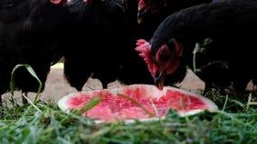 Τα κοτόπουλα και οι κόκκορες ραμφίζουν στενό επάνω καρπουζιών, σε αργή κίνηση απόθεμα βίντεο