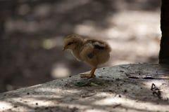 Τα κοτόπουλα μητέρων και οι νεοσσοί, κοτόπουλα μητέρων προστατεύουν τους νεοσσούς στοκ φωτογραφία
