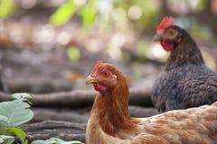 Τα κοτόπουλα μητέρων και οι νεοσσοί, κοτόπουλα μητέρων προστατεύουν τους νεοσσούς στοκ φωτογραφίες