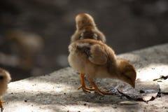 Τα κοτόπουλα μητέρων και οι νεοσσοί, κοτόπουλα μητέρων προστατεύουν τους νεοσσούς στοκ φωτογραφία με δικαίωμα ελεύθερης χρήσης
