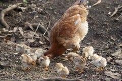 Τα κοτόπουλα μητέρων και οι νεοσσοί, κοτόπουλα μητέρων προστατεύουν τους νεοσσούς στοκ εικόνα με δικαίωμα ελεύθερης χρήσης