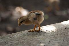 Τα κοτόπουλα μητέρων και οι νεοσσοί, κοτόπουλα μητέρων προστατεύουν τους νεοσσούς στοκ εικόνες