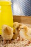 Τα κοτόπουλα ταΐζονται στοκ φωτογραφίες