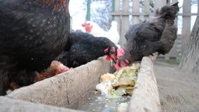 Τα κοτόπουλα ταΐζουν σε ένα παραδοσιακό σλοβάκικο αγρόκτημα απόθεμα βίντεο
