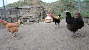 Τα κοτόπουλα ταΐζουν σε ένα παραδοσιακό σλοβάκικο αγρόκτημα φιλμ μικρού μήκους