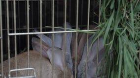 Τα κουνέλια στο κλουβί τρώνε τη χλόη φιλμ μικρού μήκους