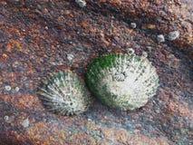 Τα κοχύλια έδεσαν σε έναν βράχο στην παραλία με την αντανάκλαση του SU στοκ φωτογραφίες