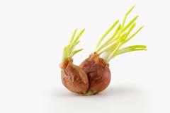 Τα κρεμμύδια αυξάνονται στο άσπρο υπόβαθρο Στοκ Εικόνες