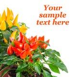 Τα κόκκινα, κίτρινα, πορτοκαλιά καυτά πιπέρια τσίλι στο δοχείο είναι απομονωμένα στο μόριο Στοκ εικόνα με δικαίωμα ελεύθερης χρήσης