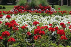 Τα κόκκινα και άσπρα λουλούδια που απεικονίζουν τη εθνική σημαία του Καναδά δημιούργησαν ειδικά για να γιορτάσουν τη 150η επέτειο Στοκ φωτογραφίες με δικαίωμα ελεύθερης χρήσης