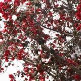 Τα κόκκινα λουλούδια σε ένα ανθίζοντας δέντρο δίπλα σε ένα σπίτι χρωμάτισαν τα λευκά, χαρακτηριστικά ελληνικά στοκ φωτογραφίες