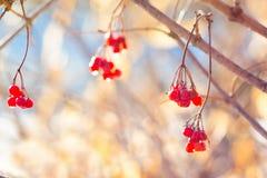 Τα κόκκινα μούρα guelder αυξήθηκαν με τις πτώσεις δροσιάς το πρωί το φθινόπωρο στον ηλιόλουστο καιρό σε έναν ελαφρύ background_ στοκ εικόνες με δικαίωμα ελεύθερης χρήσης