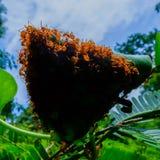 Τα κόκκινα μυρμήγκια κάνουν τις φωλιές με τα φύλλα, στα πράσινα φυτά Στοκ φωτογραφίες με δικαίωμα ελεύθερης χρήσης