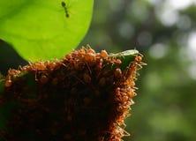 Τα κόκκινα μυρμήγκια κάνουν τις φωλιές με τα φύλλα, στα πράσινα φυτά Στοκ Εικόνες