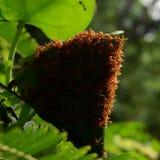 Τα κόκκινα μυρμήγκια κάνουν τις φωλιές με τα φύλλα, στα πράσινα φυτά Στοκ Εικόνα