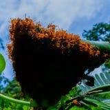 Τα κόκκινα μυρμήγκια κάνουν τις φωλιές με τα φύλλα, στα πράσινα φυτά Στοκ Φωτογραφία