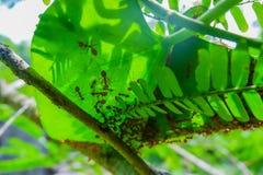 Τα κόκκινα μυρμήγκια κάνουν τις φωλιές με τα φύλλα, στα πράσινα φυτά Στοκ Φωτογραφίες