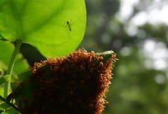 Τα κόκκινα μυρμήγκια κάνουν τις φωλιές με τα φύλλα, στα πράσινα φυτά Στοκ φωτογραφία με δικαίωμα ελεύθερης χρήσης
