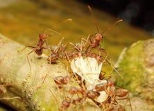 τα κόκκινα μυρμήγκια και το θήραμα Στοκ Φωτογραφίες