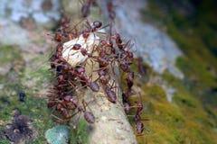 τα κόκκινα μυρμήγκια και το θήραμα Στοκ Εικόνες