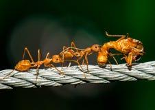 Τα κόκκινα μυρμήγκια που περπατούν και φέρνουν το σώμα ζωύφιου στοκ εικόνα