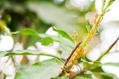 Τα κόκκινα μυρμήγκια στο δέντρο μάγκο με τον κλάδο και το φύλλο για το υπόβαθρο ή τη σύσταση Στοκ Φωτογραφία