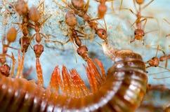 Τα κόκκινα μυρμήγκια τρώνε την εξαγωγή Στοκ Φωτογραφίες