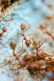 Τα κόκκινα μυρμήγκια τρώνε την εξαγωγή Στοκ Εικόνες