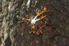 Τα κόκκινα μυρμήγκια υφαντών προσπαθούν να φάνε τα τρόφιμά τους Στοκ φωτογραφία με δικαίωμα ελεύθερης χρήσης