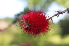 Τα κόκκινα λουλούδια βουρτσών μπουκαλιών Στοκ εικόνες με δικαίωμα ελεύθερης χρήσης