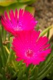 Τα κόκκινα λουλούδια succulent Στοκ φωτογραφία με δικαίωμα ελεύθερης χρήσης
