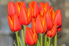 Τα κόκκινα πορτοκαλιά λουλούδια τουλιπών κλείνουν επάνω με τα κίτρινα περιθώρια, κλείνουν επάνω Στοκ φωτογραφία με δικαίωμα ελεύθερης χρήσης