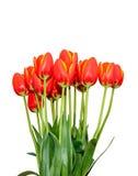 Τα κόκκινα πορτοκαλιά λουλούδια τουλιπών κλείνουν επάνω με τα κίτρινα περιθώρια, κλείνουν επάνω Στοκ Εικόνες