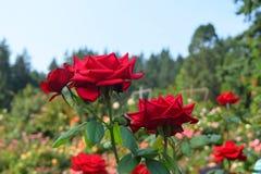 Τα κόκκινα τριαντάφυλλα κλείνουν επάνω σε μια φυτεία με τριανταφυλλιές Στοκ εικόνες με δικαίωμα ελεύθερης χρήσης