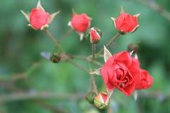 Τα κόκκινα τριαντάφυλλα οφθαλμών στο θολωμένο πίσω έδαφος στοκ φωτογραφία