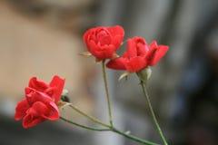 Τα κόκκινα τριαντάφυλλα στο θολωμένο πίσω έδαφος στοκ εικόνες