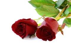 Τα κόκκινα τριαντάφυλλα απομονώνουν στο άσπρο υπόβαθρο Στοκ Εικόνες