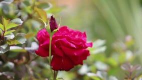 Τα κόκκινα τριαντάφυλλα τσαγιού είναι ανθίζοντας στον κήπο φιλμ μικρού μήκους