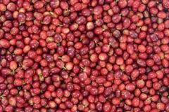 Τα κόκκινα φασόλια καφέ που ωριμάζουν στο καλάθι μπαμπού που περιέχει, επιλεγμένο κόκκινο ωριμάζουν arabica τα κεράσια μούρων καφ Στοκ Εικόνες