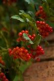 Τα κόκκινα φρούτα guelder-αυξήθηκαν ενάντια στο τουβλότοιχο υποβάθρου Εποχιακή έννοια φθινοπώρου Στοκ Φωτογραφίες